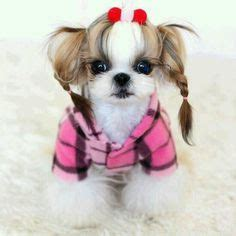 shih tzu braids 1000 images about shih tzu on shih tzu bad hair and asian style