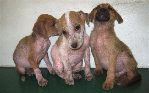 mange in puppies what is puppy mange and how is it treated