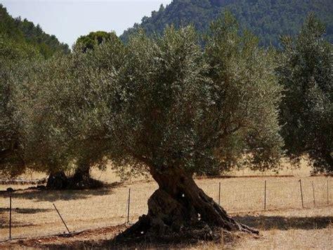 olivenbaum wann schneiden die besten 17 bilder zu mediterrane pflanzen auf