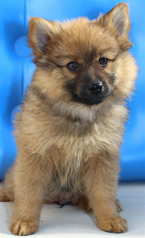 german spitz puppies german spitz animal