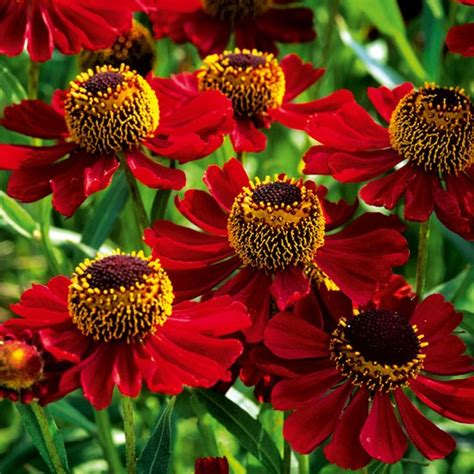Home Design Essentials helenium rubinzwerg best helenium plants to buy