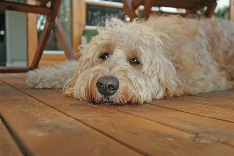 goldendoodle puppy images goldendoodles images clive assistance for autism hd