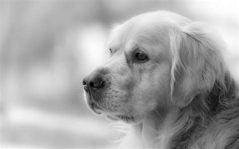 black and white golden retriever pictures s best friend hd wallpaper and background