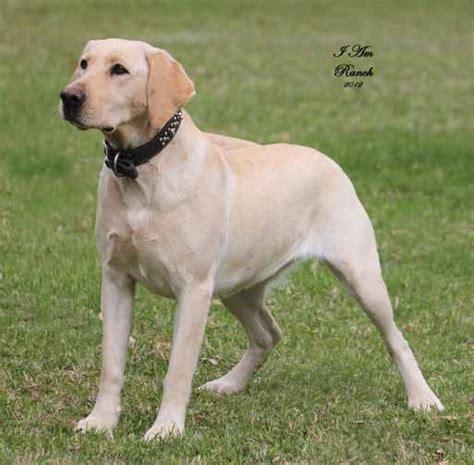 american labrador puppies best 25 american labrador ideas on silver labrador labrador retriever