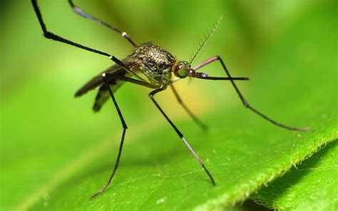 beat mosquitoes with sweetgrass treehugger