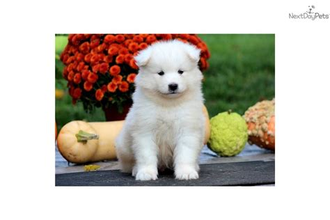 samoyed puppy price meet price a samoyed puppy for sale for 1 200 price samoyed