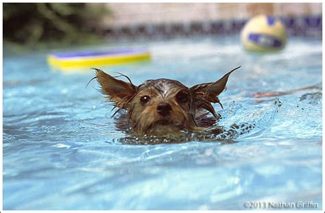 yorkie swimming in pool yorksire terrier quot yorkie quot swimming in the pool