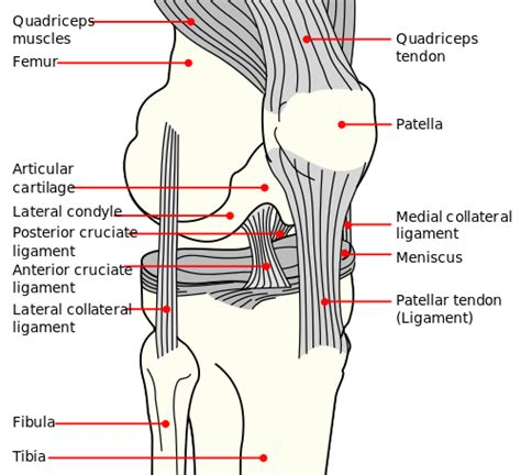 diagram of knee ligaments acl replacement from soccer indoors one wrong