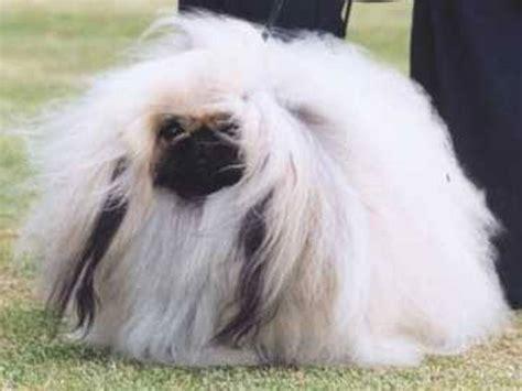 pekingese dogs pekingese evolution canis lupus hominis