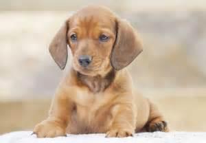 dachshund puppies for sale chevromist kennels puppies
