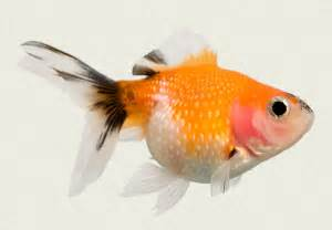 Pearlscale Red White & Black Fancy Goldfish   Tropicali