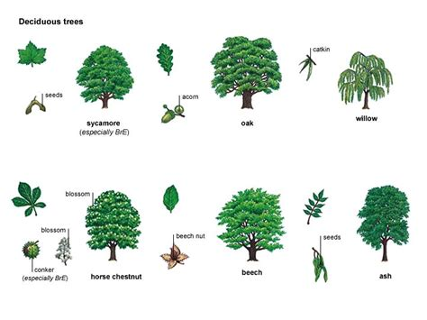 define tree deciduous adjective definition pictures pronunciation