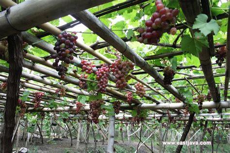 Grape Garden by Grape Garden In Probolinggo East Java Enjoy Its Fresh