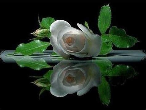 imagenes de luto rosa blanca una ela en mi mochila una rosa blanca para 201 l