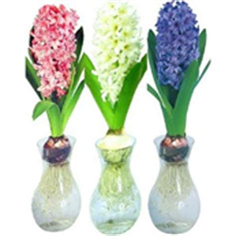 Forcing Hyacinth Bulbs In Vases Forcing Hyacinth Markcullen Com
