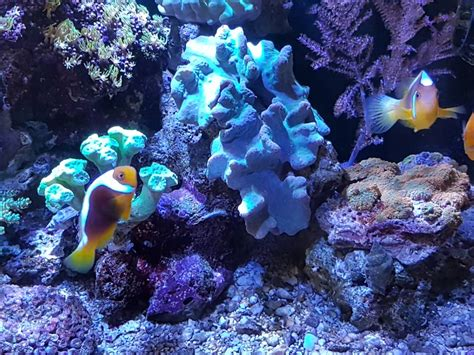 Sale Malam White fish for sale white bonnet clownfish pair sell pasar malam shop singapore reef club