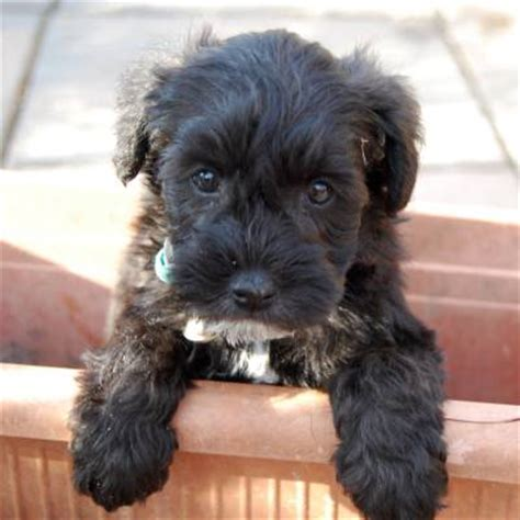 schnoodle puppies schnoodle pups new homes iloveschnoodles
