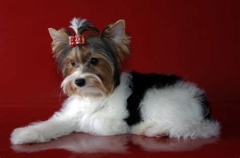 biewer terrier haircuts biewer yorkie yorkshire terrier