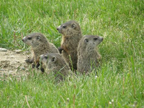 groundhog day oregon zoo gardening s gardening pages woodchucks groundhogs