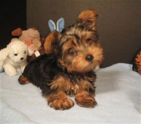 how to take care of a yorkie terriers temperaments understanding terriers temperaments and
