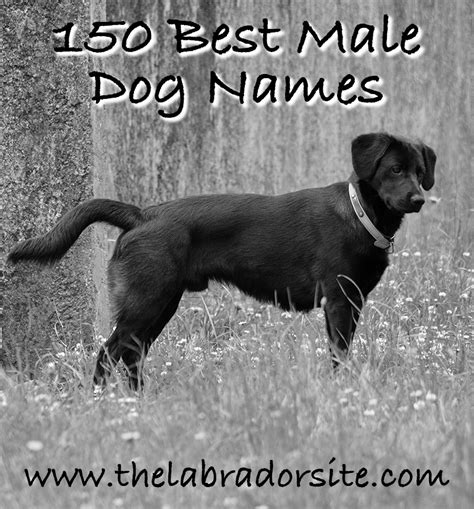 puppy boy names 91 names chocolate lab wanting to go out best golden