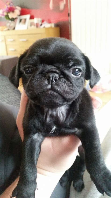 pugs for sale in maidstone health tested kc registered pug pups 1 left maidstone kent pets4homes