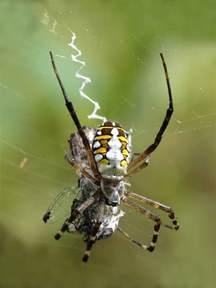 Garden Spider Meaning Orb Weaver Spider