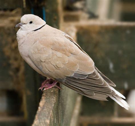 wat doesa brid dove look like barbary dove