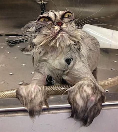 Wet Cat Meme - funny wet cat
