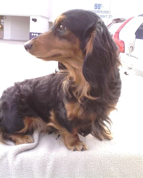 hair weiner miniature dachshund facts info temperament puppies pictures
