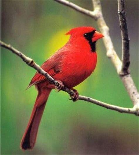 northern cardinal state bird il chicago il pinterest
