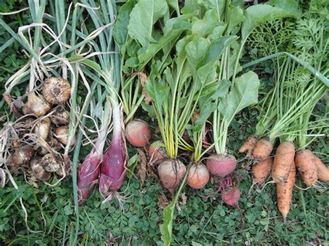 pictures of root vegetables summer up root vegetables gradually greener