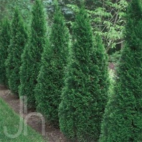 1000 ideas about emerald green arborvitae on