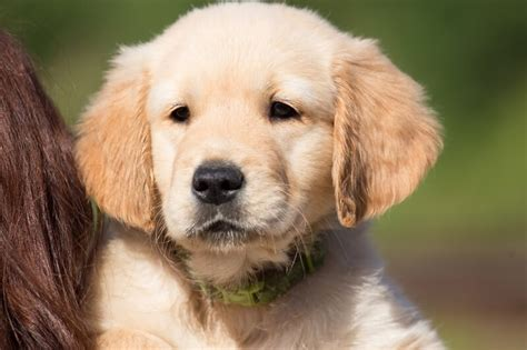 golden retriever puppy temperament golden retriever character personality merry photo