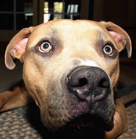 dogs 101 pitbull dogs 101 remember dogs are animals