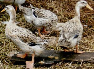 Bibit Bebek Darat ternyata ini perbedaan bebek dan itik farof