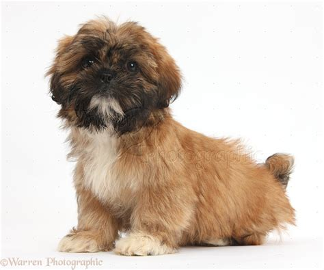 shih tzu brown brown shih tzu pup sitting photo wp38153