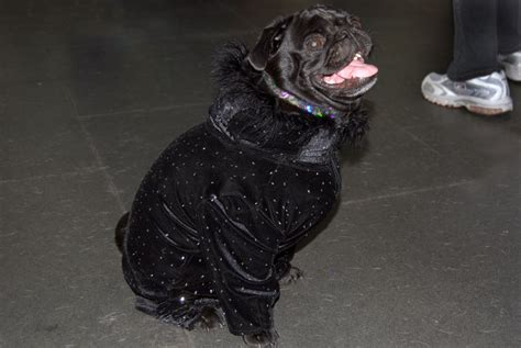 pug coat fabulously sparkly pug coat about pug
