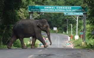 video wild elephant tramples man  death  kicks