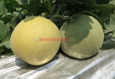 Benih Kacang Panjang Pangeran Anvi melon pertiwi anvi melon anti virus yang manis benih
