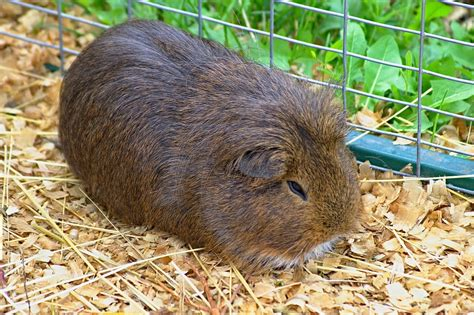 Bedding For Guinea Pigs by