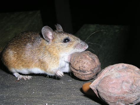 large japanese large japanese field mouse wikiwand