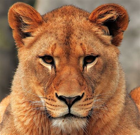 when a lioness growls a s pride books that lioness inkling