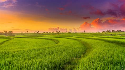 countryside paddy fields  wallpapers hd wallpapers