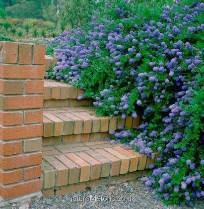 cespugli sempreverdi fioriti arbusti da fiore da vaso o fioriere sempreverdi per