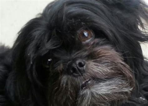 black shih tzu mix 55 best lhasa apso images on