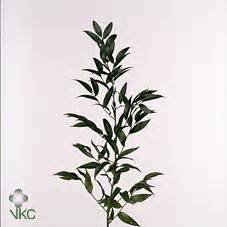 Wholesale Flowers Delivery - wholesale ruscus amp wedding flower guides uk triangle nursery