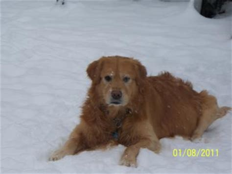 cancer golden retrievers symptoms paddy my beautiful golden retriever has cancer