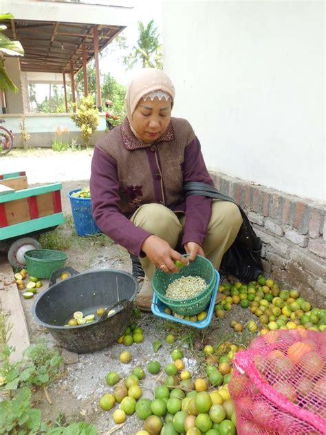 Bibit Jeruk Purut Yang Baik bpp ngunut tulungagung jawa timur pembibitan jeruk purut