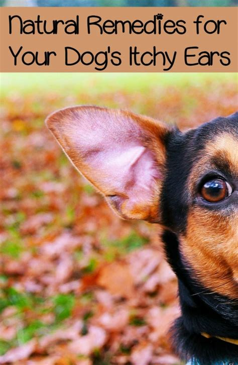 puppy scratching ears itchy ears in dogs approaches to easing the itch dogvills